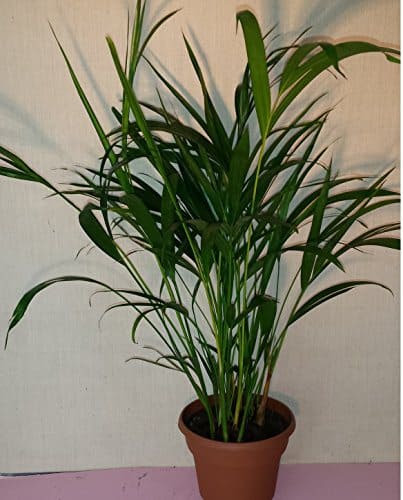Areca palm safe for cats and dogs