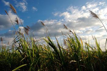 Sugarcane_3