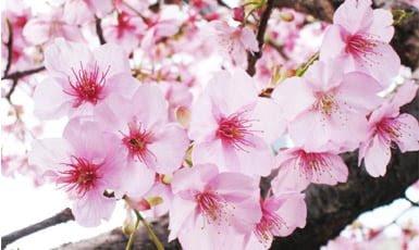 Arboles Sakura Su Significado Info En Taringa