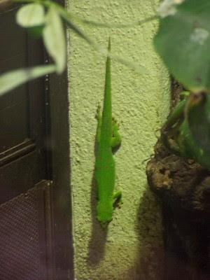 Chameleon, Italy