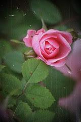 Roses: antique 7