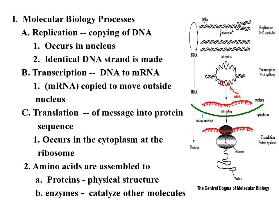 31 Nucleic Acids And Protein Synthesis Worksheet Answers ...