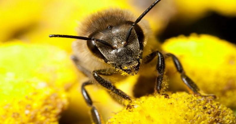 Keunikan Lebah Madu Menurut Alquran & Sains