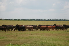 White Oak Pastures 411