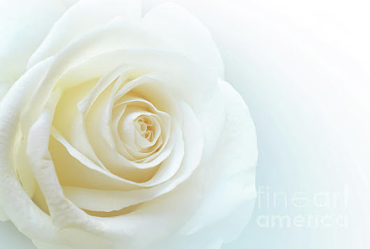Pure White Rose by Carlos Caetano
