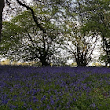 In praise of the native bluebell