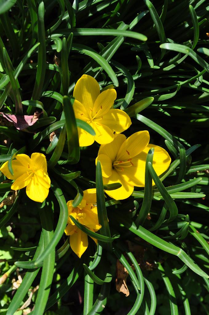 Sternbergia sicula 2