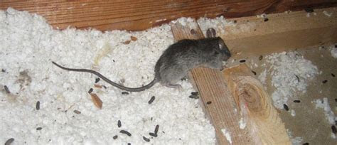How To Get Rid Of Rats In The Attic   Orlando, FL
