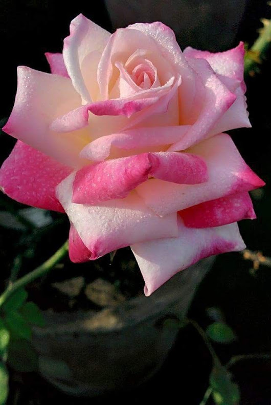 LOVE YOU With all My Heart | Flower | Pinterest | Flowers, Rose and Beautiful roses