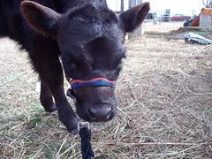 Haltered calf