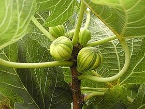 O figo, ainda que não seja, em termos botânicos, um fruto, mas um sícone, é como fruto que é conhecido na linguagem corrente