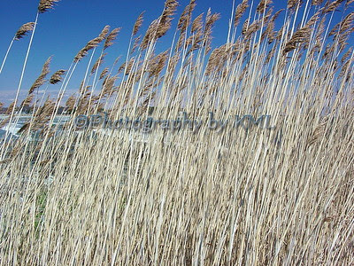 tall waving grasses beside the ocean