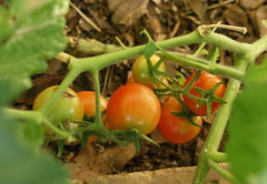 early tomatoes 2007