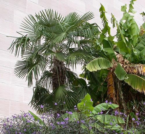 Windmill palm (cropped)