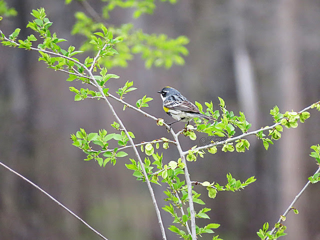 IMG_2779cpsYellow-rumped Warbler
