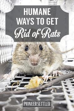 Best 20  Getting Rid Of Rats ideas on Pinterest   Rat control, Diy mice repellent and Mice control