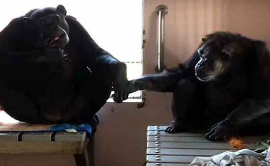 Rescued Chimpanzees Find True Love After 58 Years Alone | Care2 Causes