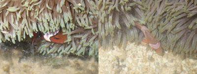 Fish3-Amphiprion ocellaris (Kusu, Hantu)
