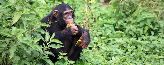 4 Day Uganda Primates Safari - Gorilla Tour and Chimp Trek in Uganda | Africa Nature Trekkers