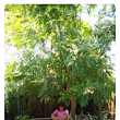 The Magnificent Moringa Oleifera Trees for Life