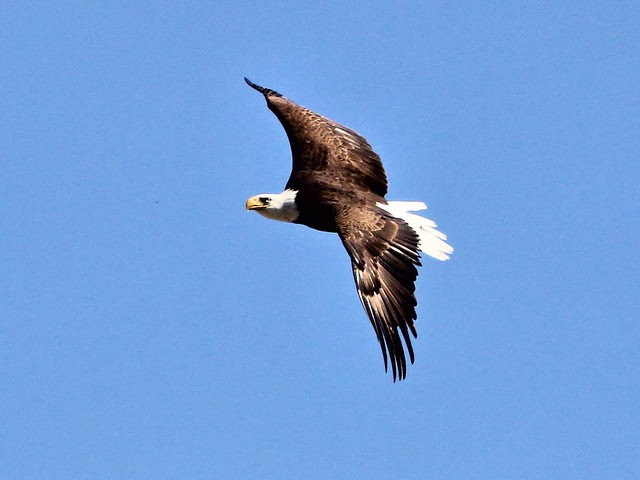 Bald Eagle female in flight 20130402