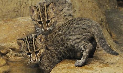 Fishing cats cincinnati zoo 2 rs