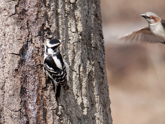 Ed Gaillard: recent &emdash; Downy Woodpecker, Central Park