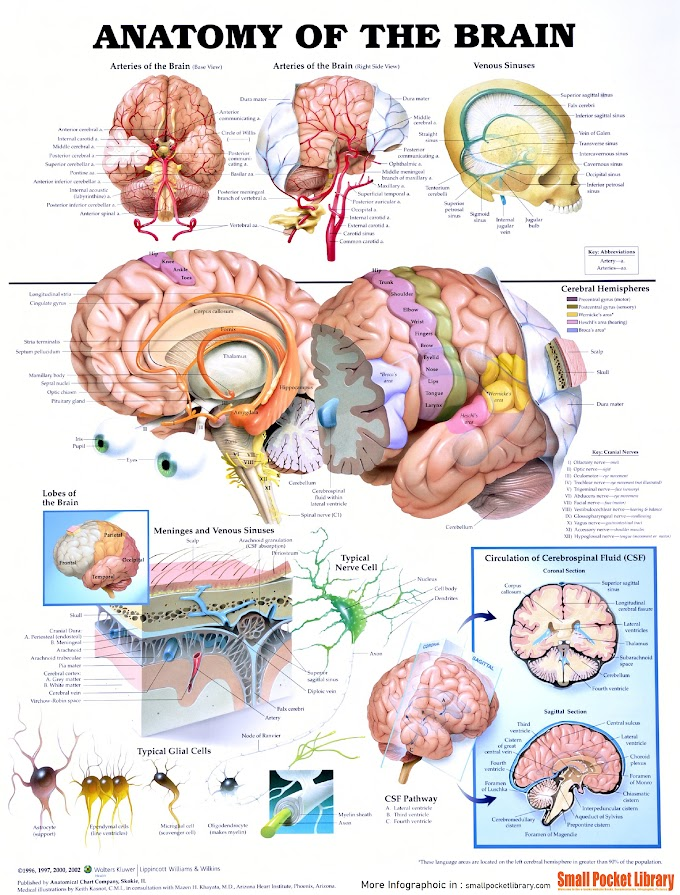 Infographic : Anatomy Of The Brain