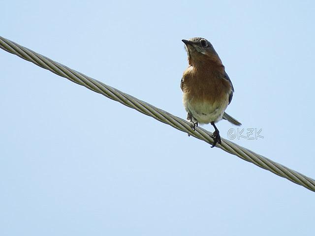 IMG_2893Bluebird