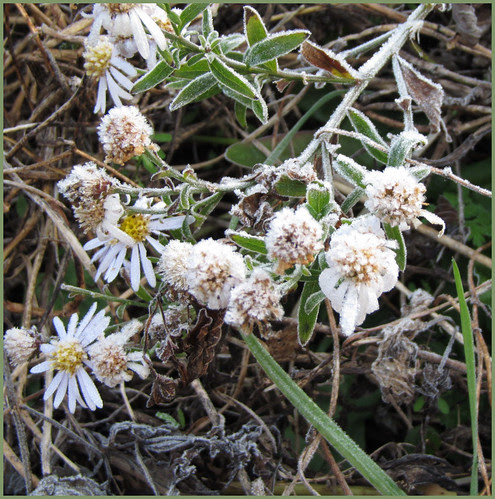 12 wild asters in frost