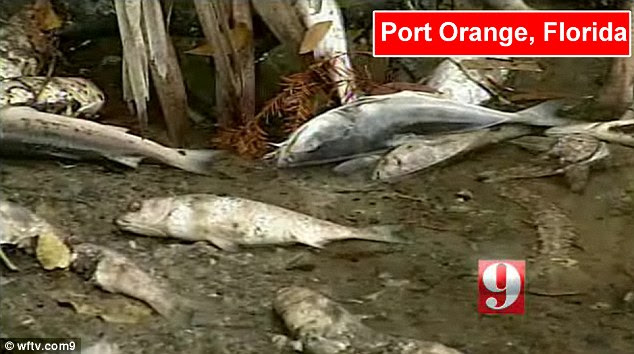Carnage: Thousands of dead fish have washed up on the shores of Spruce Creek, Florida
