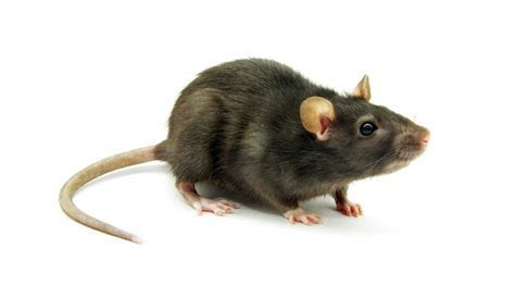 Dallas Rat Removal ? The Rodent Guys Pest Control