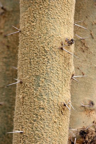 huntington acacia