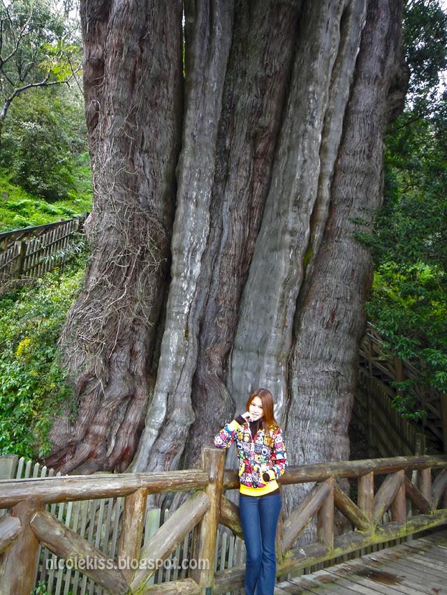 神木 Cypress Tree