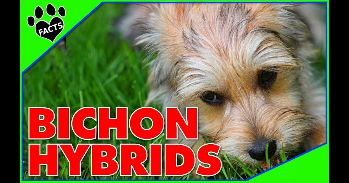Top 10 Bichon Frise Hybrid Breeds
