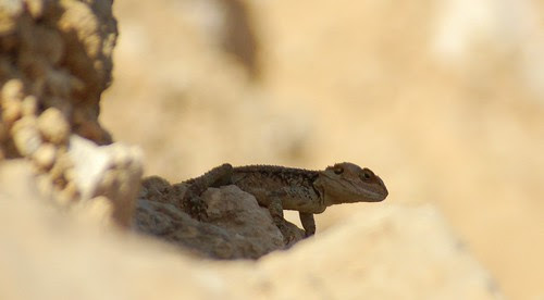 chameleon in the shade, at the White Chappel