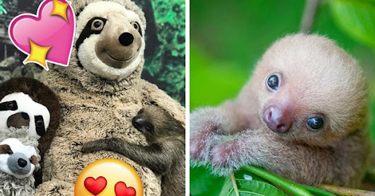 It's International Sloth Day, So Look At These Slow Precious Babies