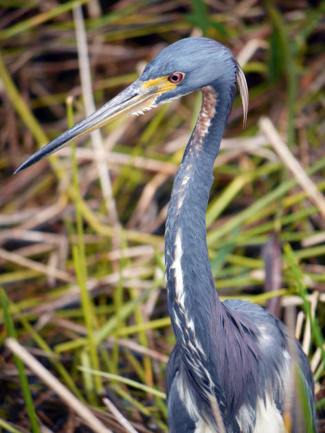 Ed Gaillard: birds &emdash; Tricolored Heron, Green Cay