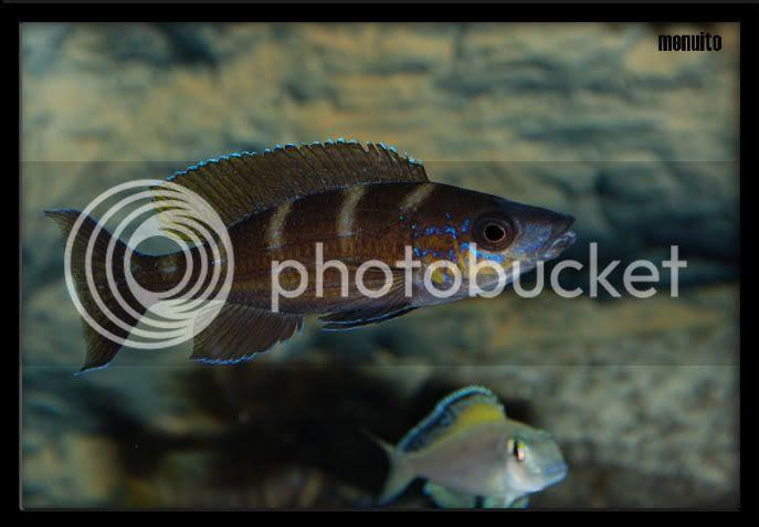 paracyprichromis brieni lusingu macho (menuito)