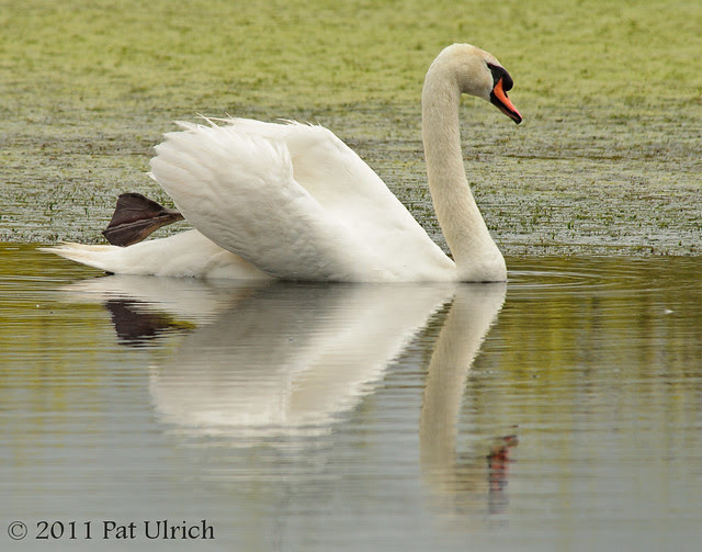 Impressionistic swan - Pat Ulrich Wildlife Photography