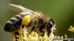 British black bee