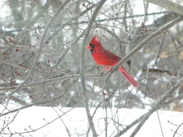 Male cardinal in snowy tree HomeRome.com