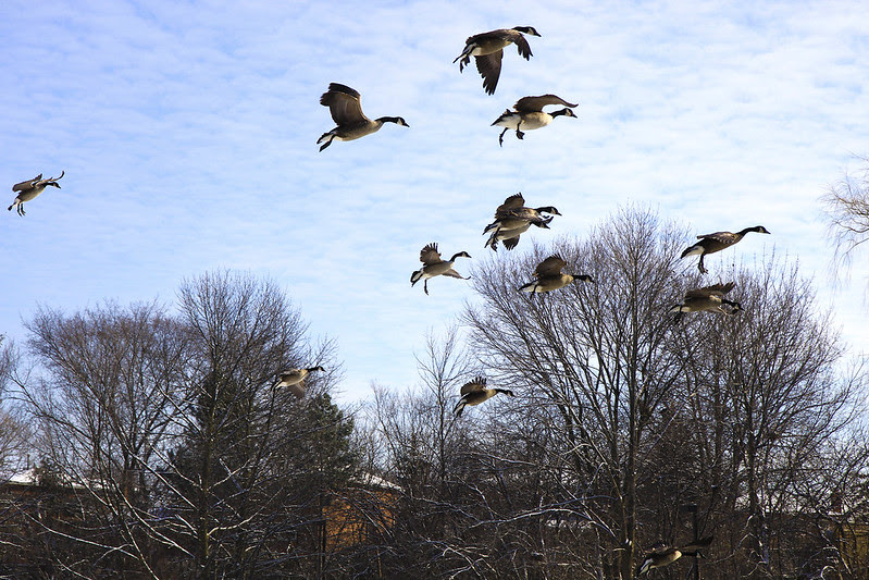 geese incoming2