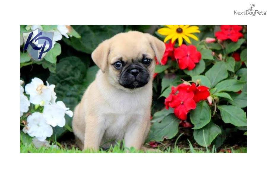 Brady - Pug Male
