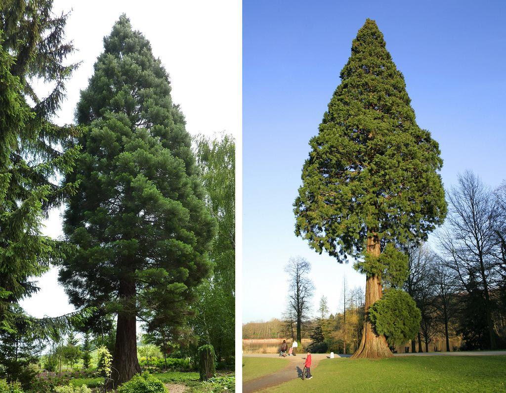 Po lewej: Mamutowiec olbrzymi w wojsławickim arboretum (fot. Julo / Wikimedia Commons  public domain); po prawej: Mamutowiec olbrzymi w La Hulpe (fot. Jean-Pol GRANDMONT / Wikimedia Commons /CC BY-SA 3.0)