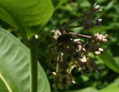Common Milkweed blossoms