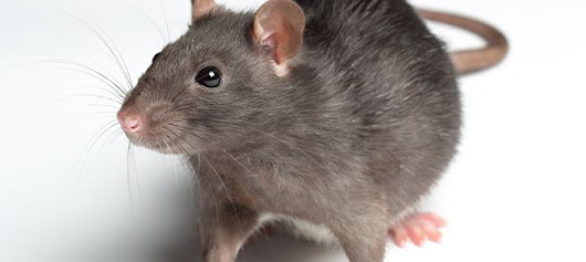 5 Humane Ways to Get Rid of Mice - Pestbusters Blog