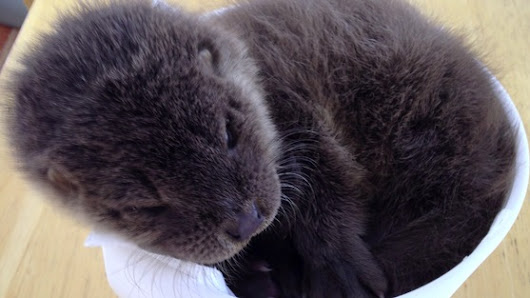 Baby otter feeding after being found 'dead' roadside
