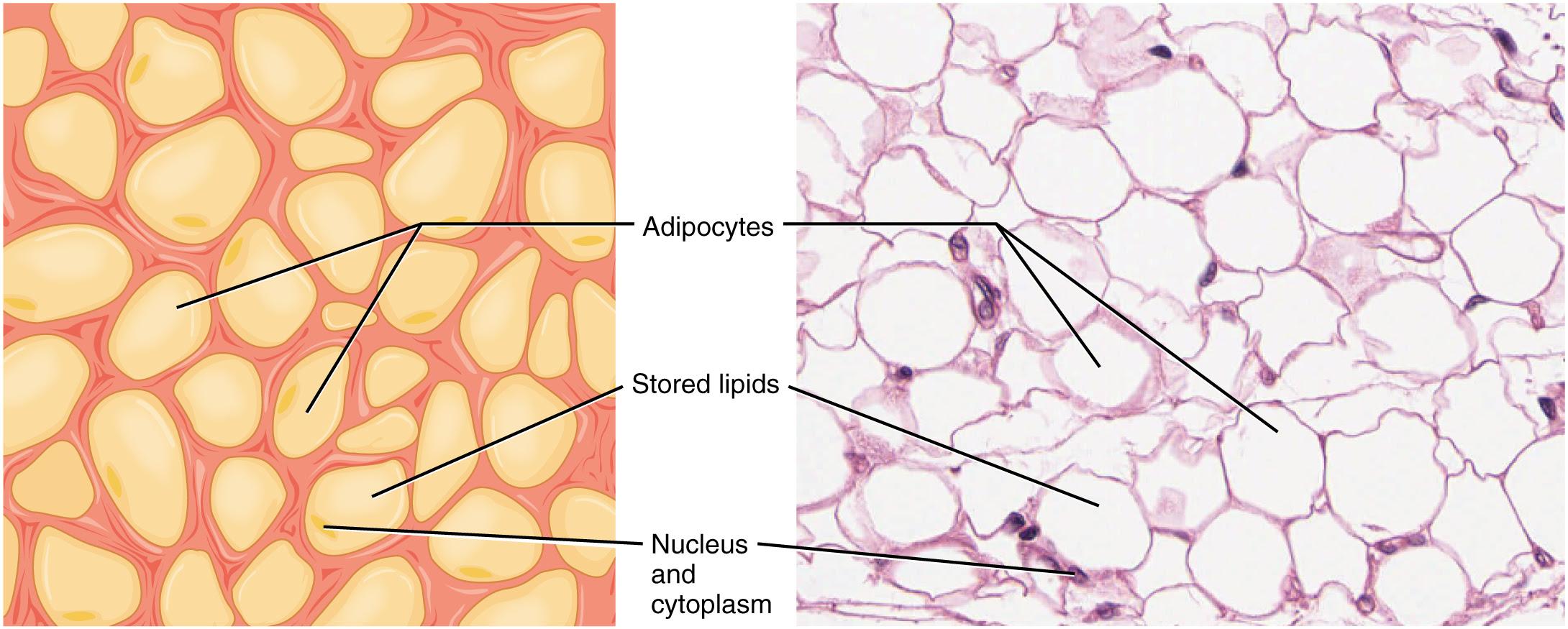 409_Adipose_Tissue