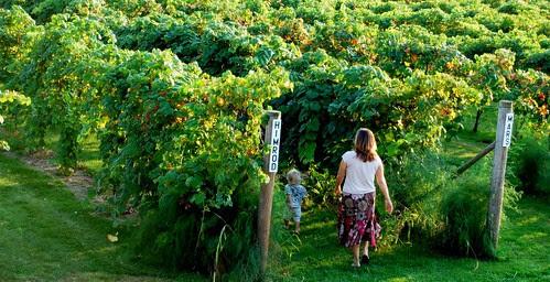 Mackinaw Vineyard 3
